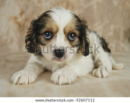 Cavachon Puppies on Stock Photo   Sweet Cavachon Puppy That Is Looking Sad And Sorry For