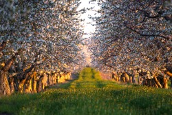 Sweet cherries are in full bloom in this orchard at sunset in northern Michigan