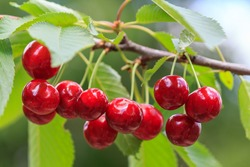 Sweet cherry red berries on a tree branch close up