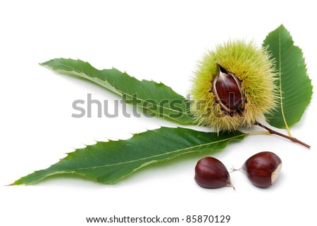 sweet chestnut fruit half split with seeds and leaves on white background