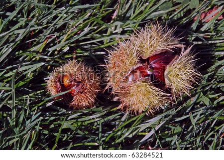 Sweet Chestnuts still in their husk after falling from tree