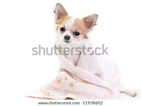 sweet chihuahua dog with pink towel isolated on white background