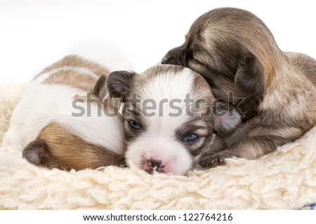sweet chihuahua puppies litter huddled together in fur pet bed  on white background