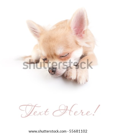 sweet chihuahua puppy over  white background