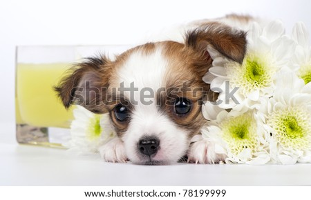 sweet Chihuahua puppy with chrysanthemums flowers and yellow candle in glass close-up on white background