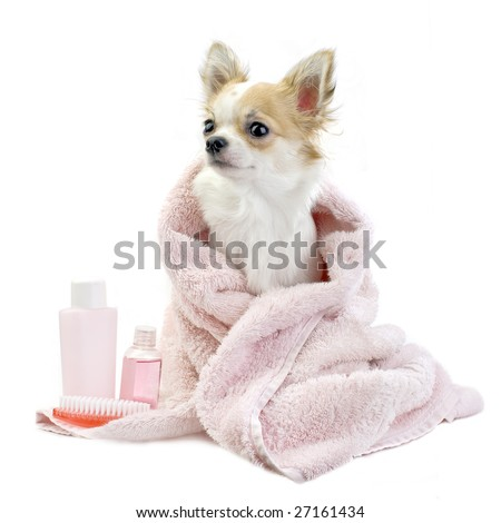 sweet Chihuahua with spa accessories and pink towel isolated on white background