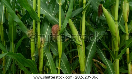 Sweet corn, green full grown many corn plant with green leaves and corn on the cob in leaves hauled in on the corn field. maize plant on cornfield close-up