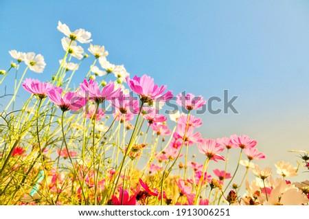 Sweet cosmos flower on editing photo background Photo stock ©