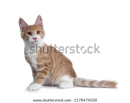 4cd276d2a5 Sweet creme with white Maine Coon cat kitten sitting side ways and tail  behind body looking