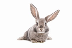 Sweet cute baby bunny with beautiful eyelashes and gray, white f