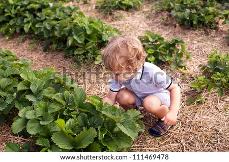 Sweet cute toddler boy two years old on strawberry organic fruit farm picking berries