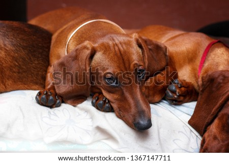 sweet dachshunds puppies