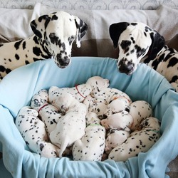 Sweet Dalmatian puppies sleep on the couch. Parents look at them
