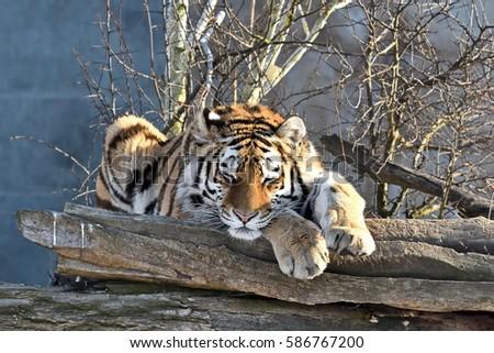 Sweet dreams of Siberian Tiger (Panthera tigris altaica)