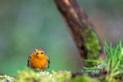 Sweet European robin perched on the ground. A robin bird is a song bird with a red breast, often called redbreast.