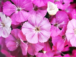 Sweet flora william blooming petals pink flowers background, Dianthus barbatus ,Chinensis ,china pink ,macro image ,flora background spring time ,blossom summer flowers, sweet color flora card