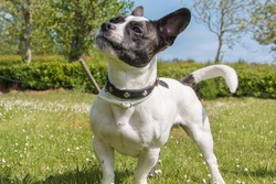 Sweet French bulldog and Parson Russell Terrier mixed-breed dog mongrel