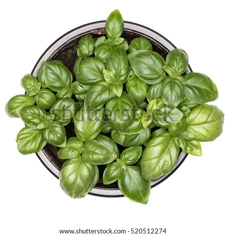 Sweet green basil leaves in pot isolated on white background. Healthy eating concept. Top view. #520512274