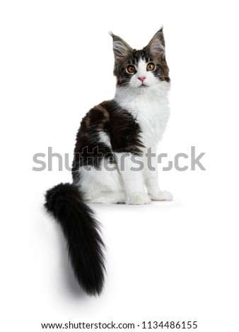 5e4dd33587 Sweet handsome black tabby with white Maine Cook cat kitten sitting side  ways with tail hanging