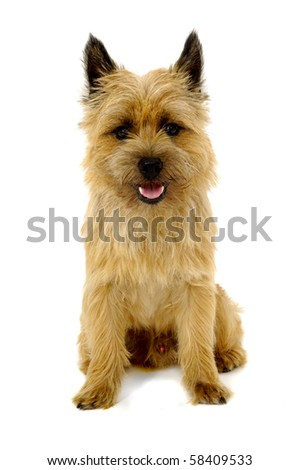 Sweet happy dog is sitting on a white background. The breed of the dog is a Cairn Terrier.