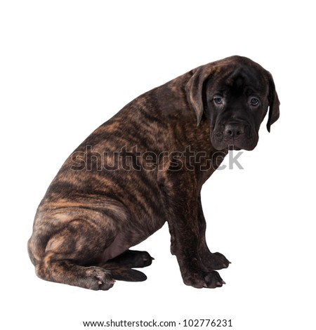 Sweet labrador puppy isolated