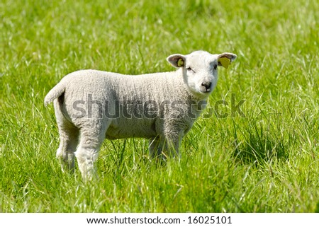 Sweet lamb in profile on a green field.