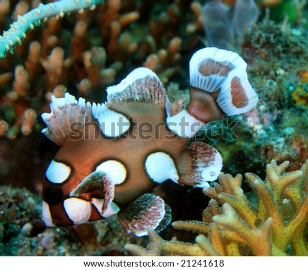 Sweet lips fish swimming back and forth on coral reef for Sweet lips fish