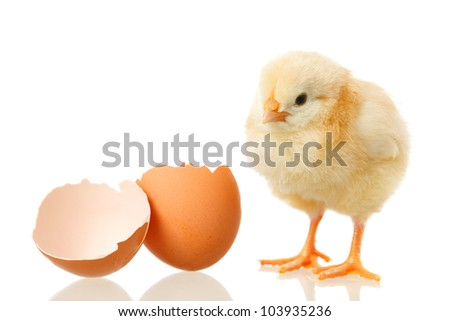 sweet little baby chicken with egg on white background
