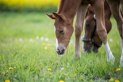 sweet little chestnut foal baby horse on green gras in spring