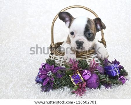 Sweet little French Bulldog in a basket with purple Christmas decor, on a white background.
