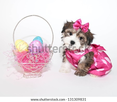 Sweet little Morkie puppy wearing her Easter dress sitting beside an Ester basket.