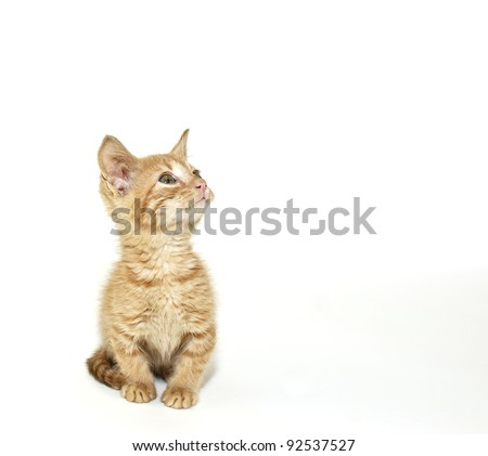Sweet little Munchkin kitten looking up in a white background.