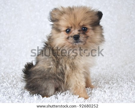 Sweet little Pomeranian puppy sitting on a white background.