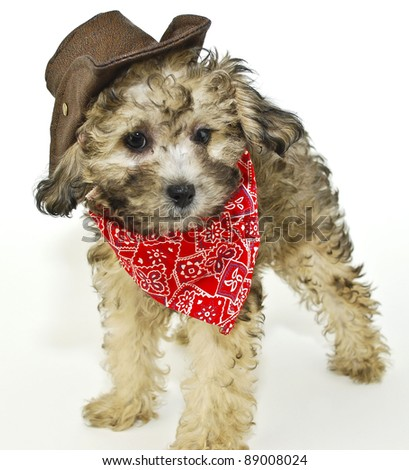 Sweet little puppy dressed up in a cowboy outfit, on a white background.