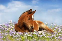 Sweet little sleeping chestnut foal baby horse outside on a lawn in spring flowers meadow