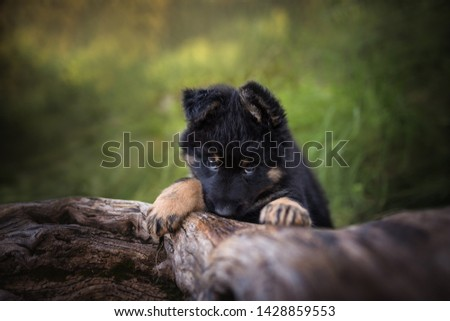 Sweet look of a bohemian shepherd puppy on a tree trunk. Cute puppies.