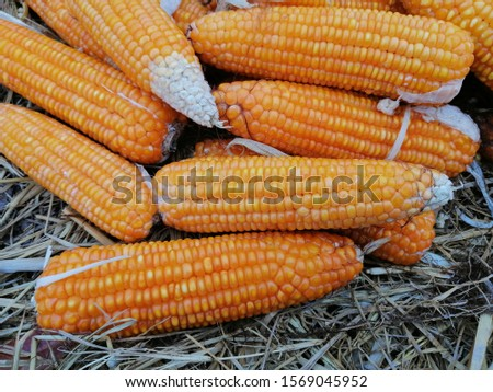Sweet maize crops in Punjab Pakistan