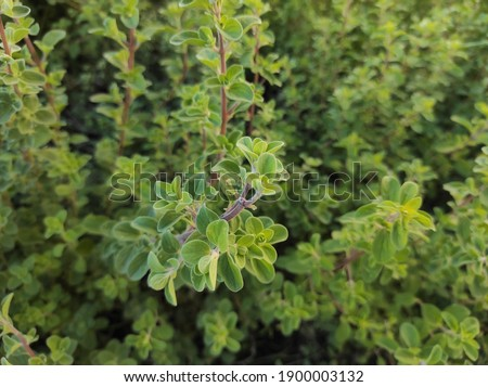 Sweet marjoram: a species of Oregano, also known as Knotted and pot marjoram, its botanical name is Origanum majorana. Stock photo ©