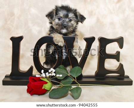 Sweet Morkie puppy with a love sign and a single red rose.