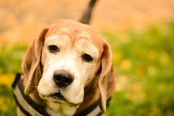 Sweet old  beagle dog in autumn
