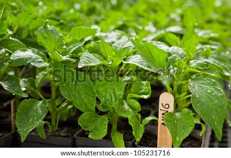 Sweet or hot pepper seedlings at a commercial organic farm