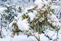 Sweet Orange (Citrus sinensis) under snow in orchard, Abkhazia