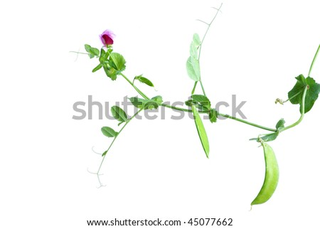 sweet pea green pod isolated