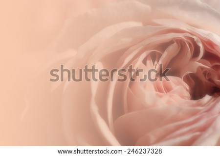 Sweet peach rose, Abraham Darby Rose, English Rose, blurred style for background.