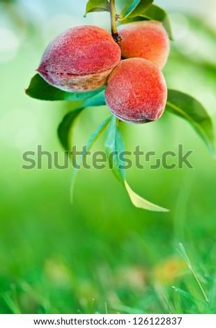 Sweet peaches growing on peach tree