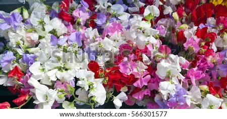 Sweet peas. Horizontal.