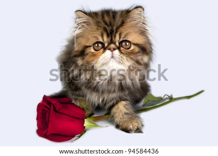 Sweet Persian kitten with a red rose for present.