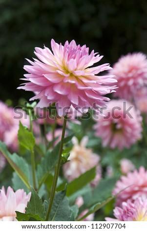 Sweet pink and beautiful Dahlia flower in garden