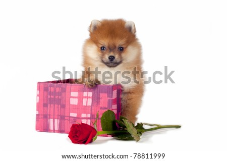 Sweet Pomeranian puppy present in gift box with red rose.