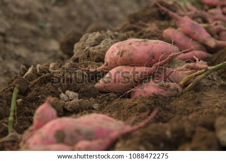 Sweet potato row on dirt after harvest at organic farm. Fresh biological product from mother earth for health